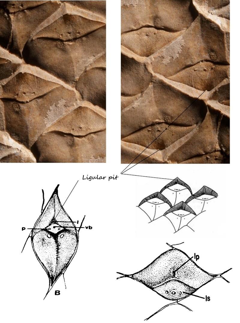 Lepidophloios Sterzel , 1907. Lepido32