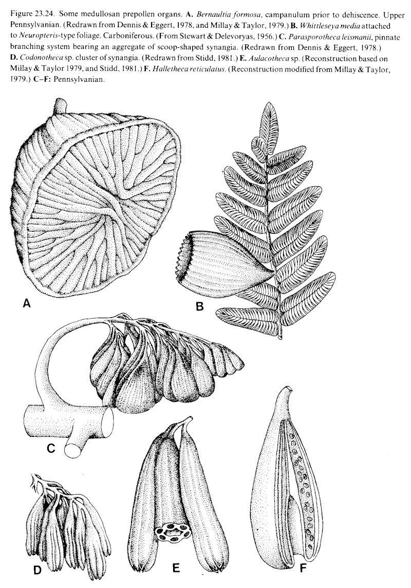 Organes mâles de fougères Ptéridospermées  Medulo10