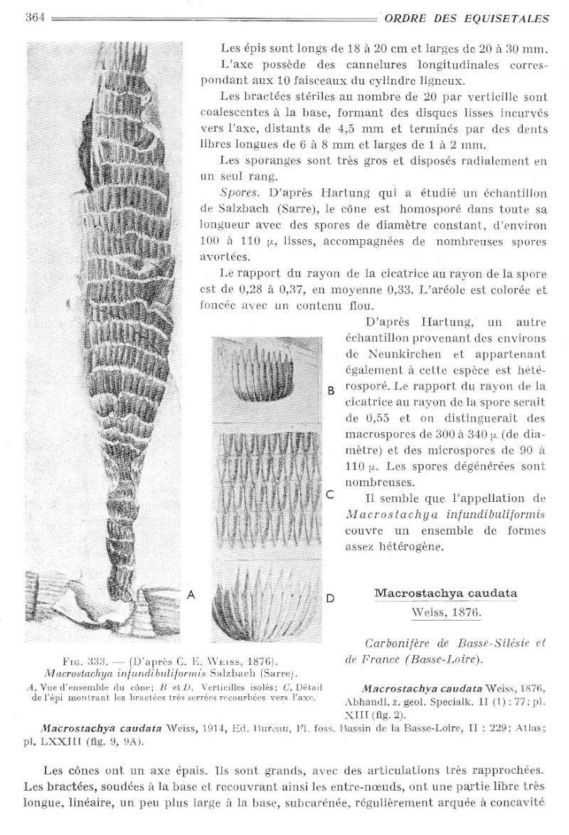 Calamites Schlotheim ,1820.  Annularia sternberg , 1822 .  - Page 2 P364_011
