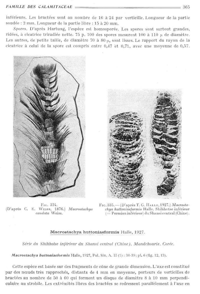 Calamites Schlotheim ,1820.  Annularia sternberg , 1822 .  - Page 2 P365_010