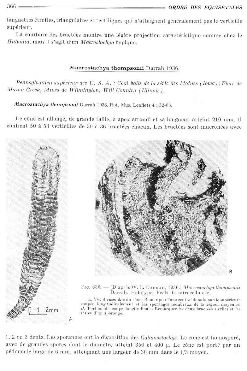Calamites Schlotheim ,1820.  Annularia sternberg , 1822 .  - Page 2 P366_010