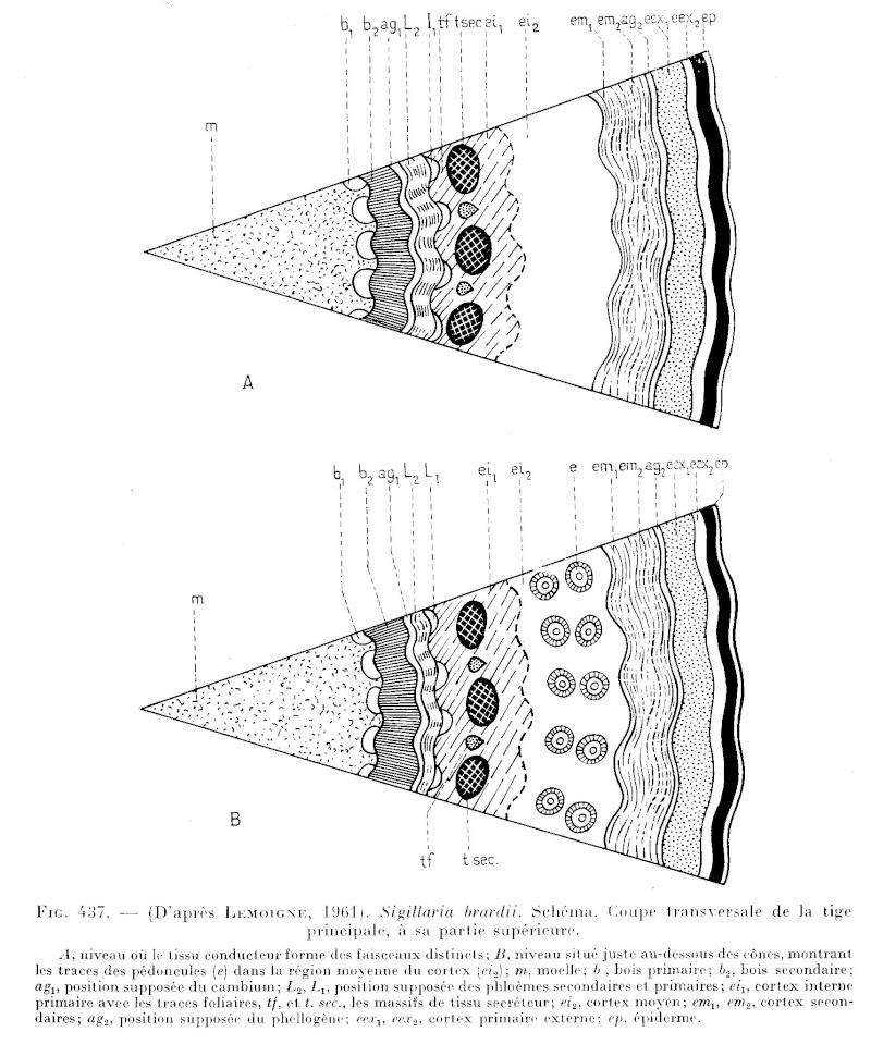 Sigillaria Brongniart ,1822. Syringodendron Sternberg,1820.  - Page 2 P_632_10