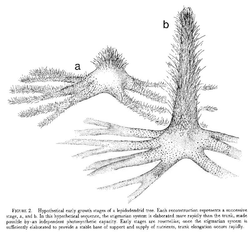 Lepidodendron Sternberg , 1820 .  - Page 4 Paleo_10