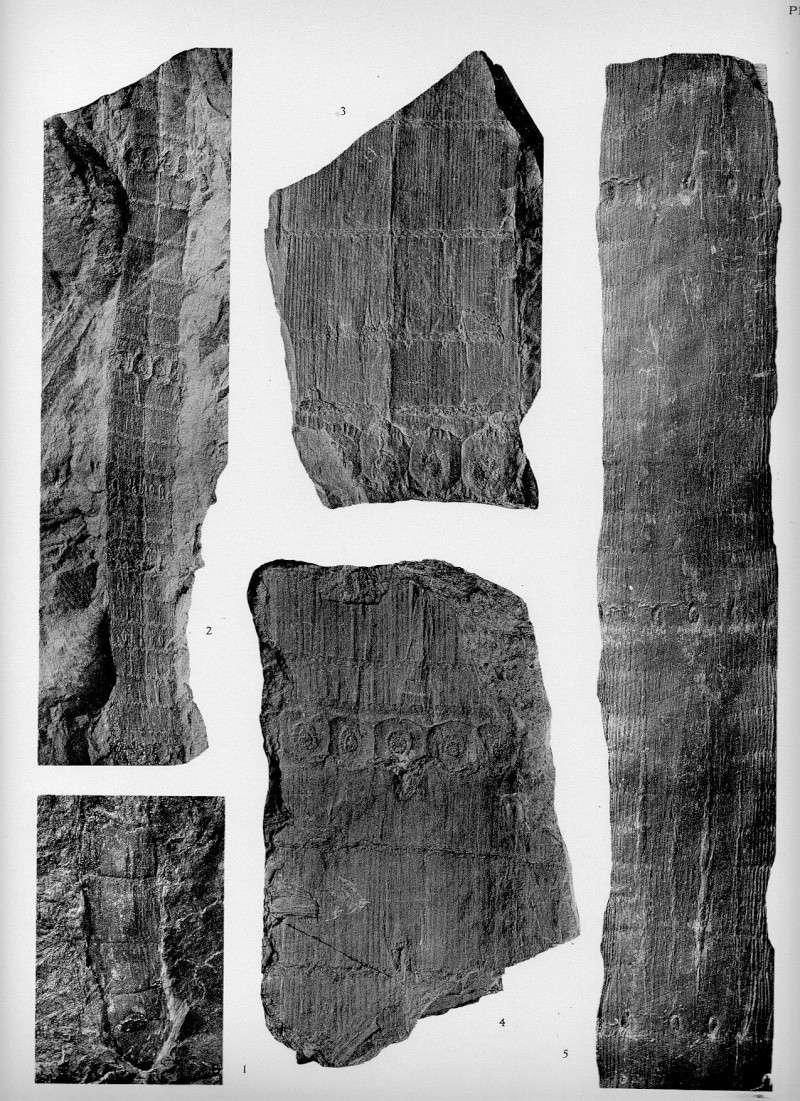 Calamites Schlotheim ,1820.  Annularia sternberg , 1822 .  - Page 3 Pl_55_10