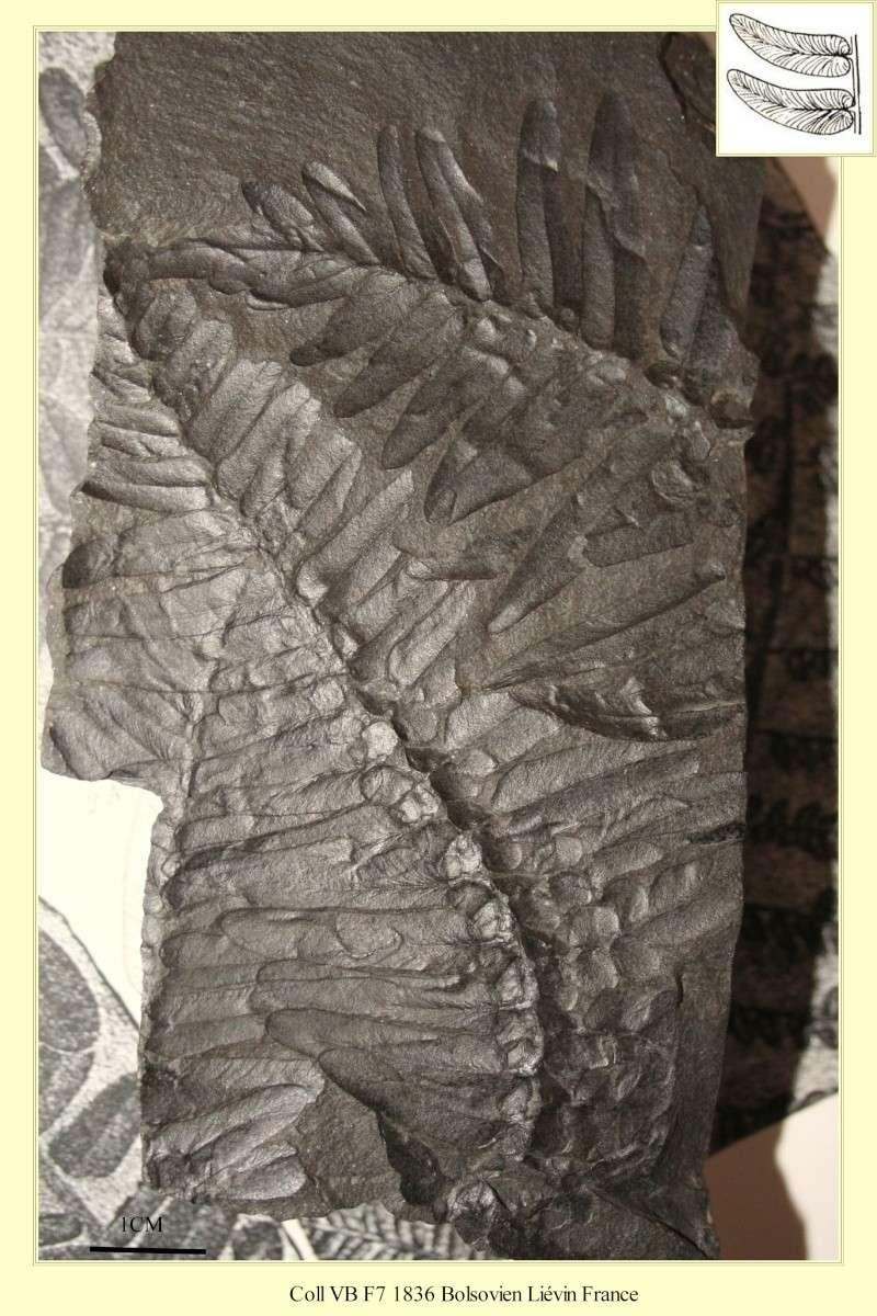 Neuropteris (Brongniart ) Sternberg , 1825. Pl_neu10