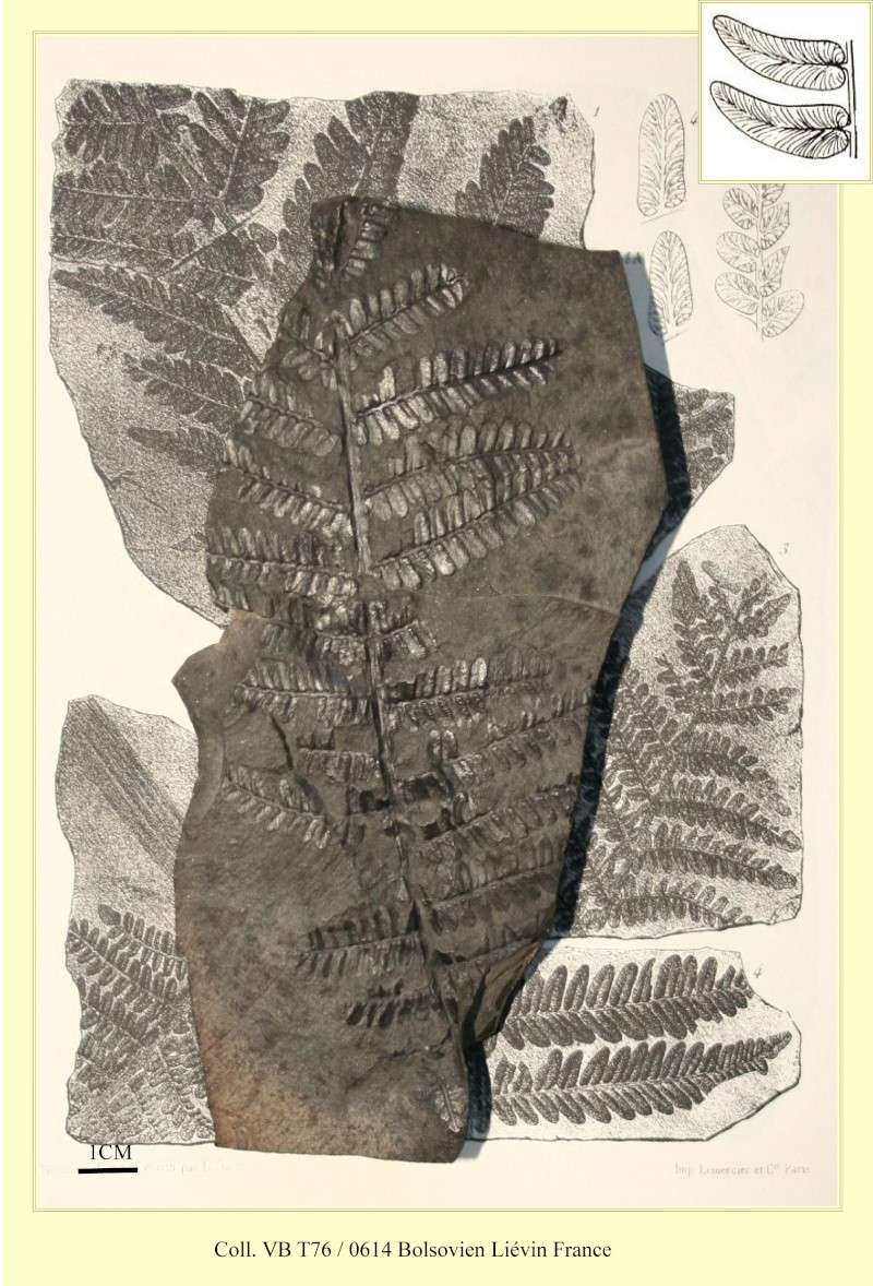 Neuropteris (Brongniart ) Sternberg , 1825. Pl_neu11