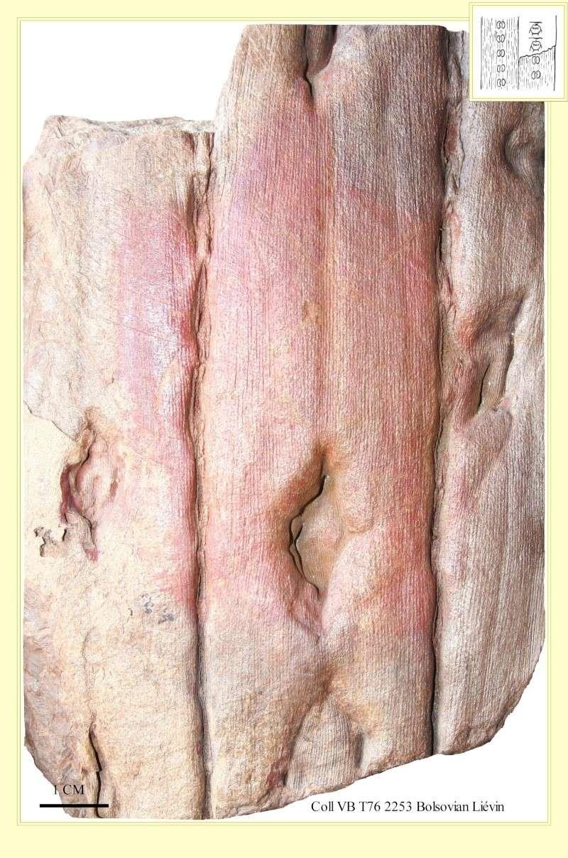 Sigillaria et zone d'insertion des sigillariostrobus Pl_syr10