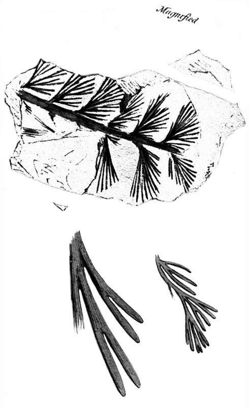 Rhodeites  Urnatopteris   Rhacop10