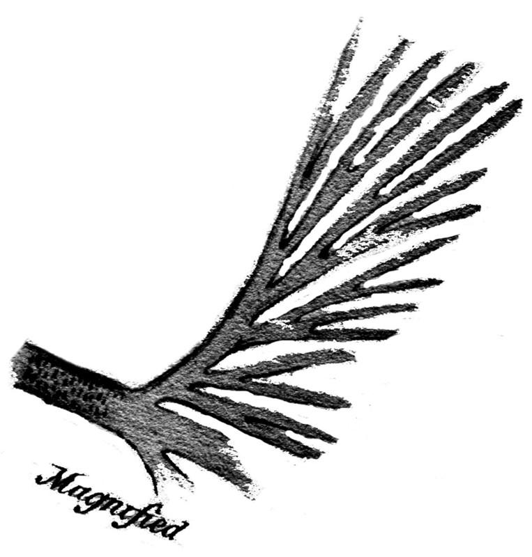 Rhodeites  Urnatopteris   Rhacop11