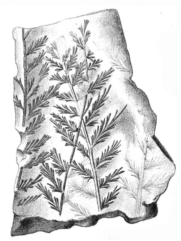 Rhodeites  Urnatopteris   Rhodea10