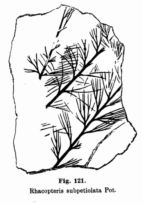 Rhodeites  Urnatopteris   Rhodea11