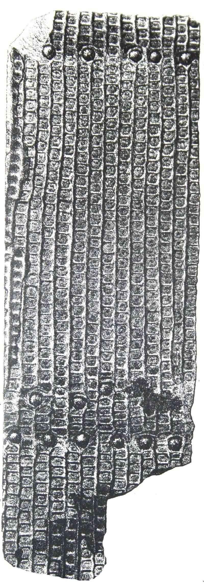 Sigillaria et zone d'insertion des sigillariostrobus Sig_el10
