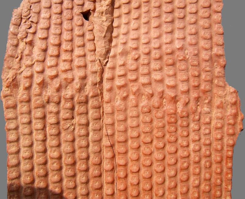 Sigillaria et zone d'insertion des sigillariostrobus Sigill13
