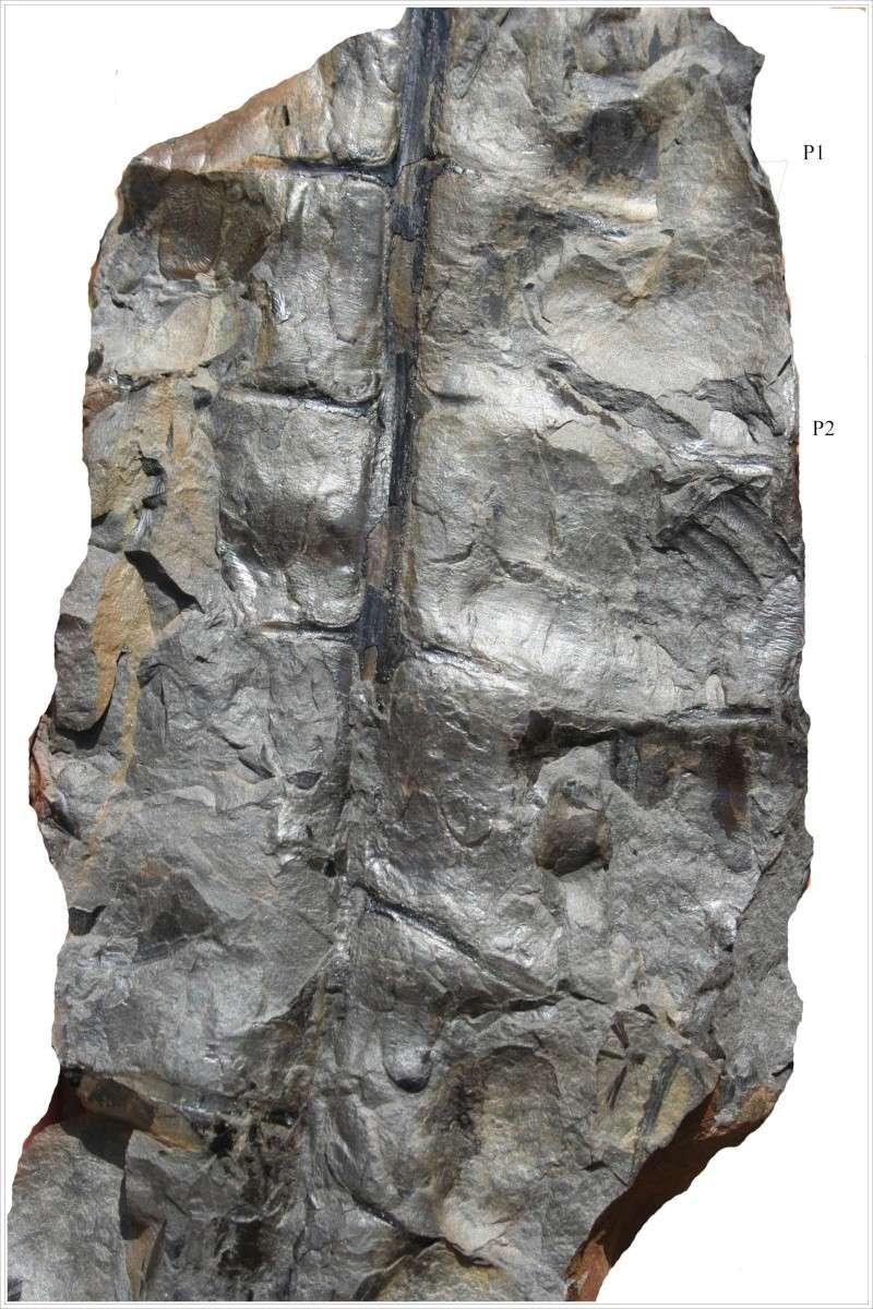 Alethopteris Sternberg 1825. Tapho_11