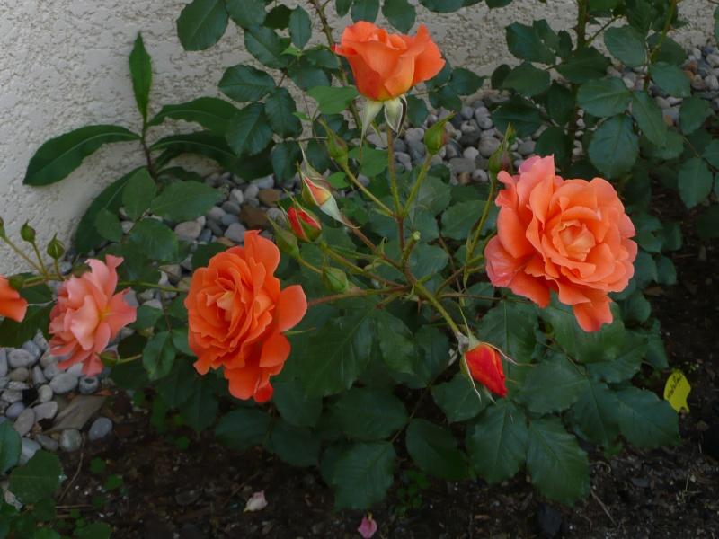 mon jardin de juillet 2011_011