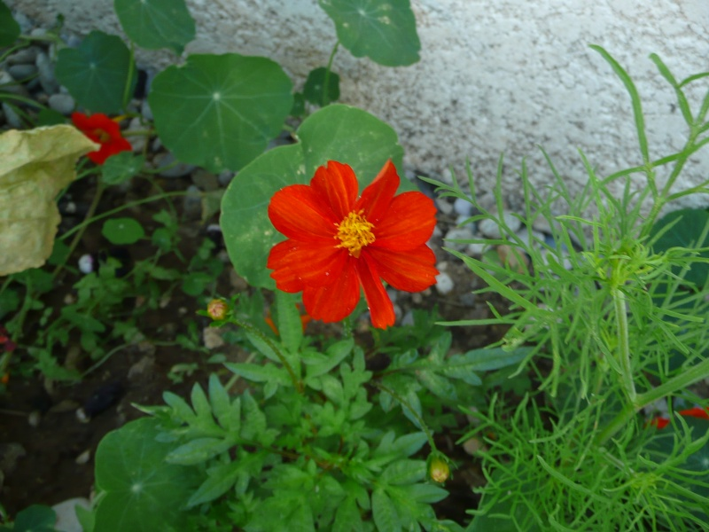 mon jardin de juillet Cosmos10