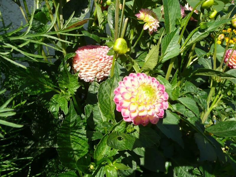 mon jardin de juillet Dahlia10