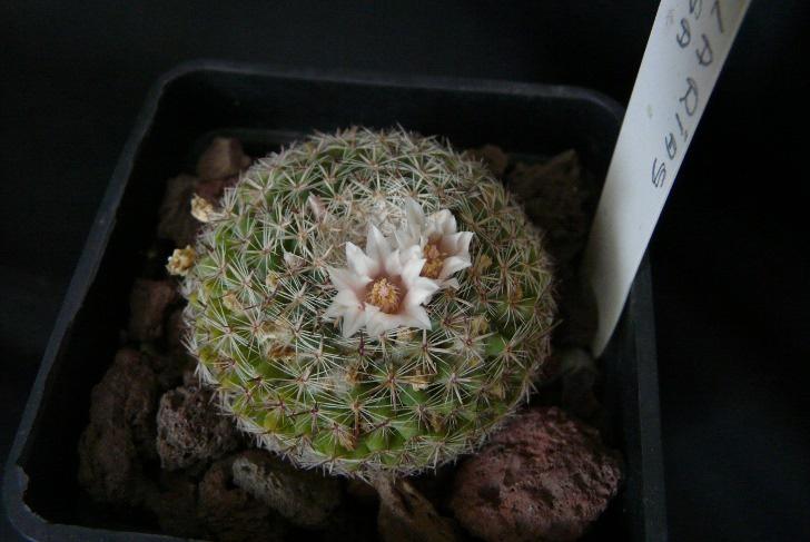 Mammillaria formosa  Mammil11