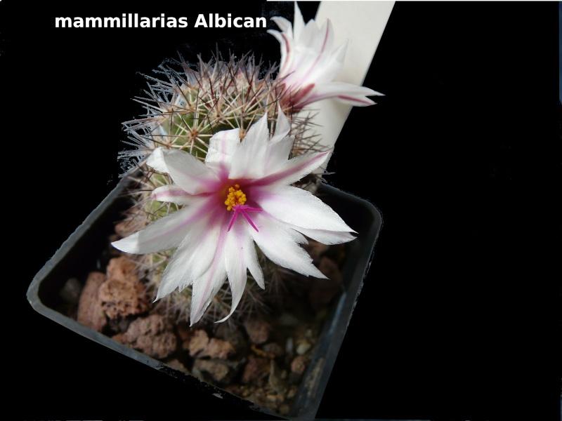 mammillarias albican Mammil12