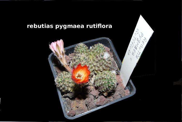 Rebutia pygmaea rutiflora Rabuti10