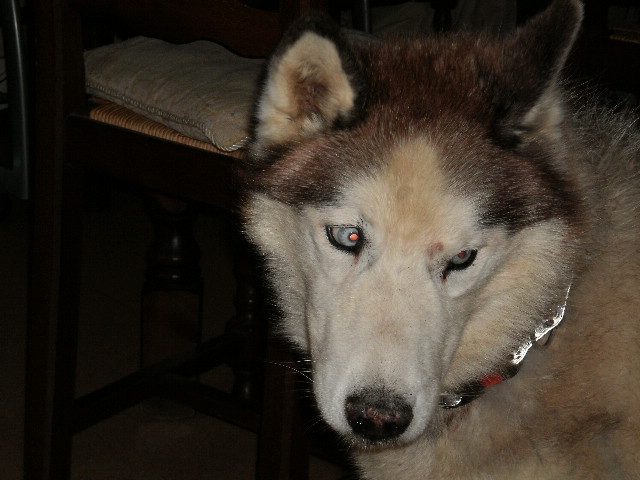 Montche superbe Husky siberien, calme, 15 ans REF (76)DECEDE - Page 2 Ok_01910