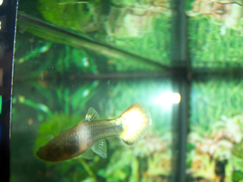 taches blanches femelle guppy 102_5210