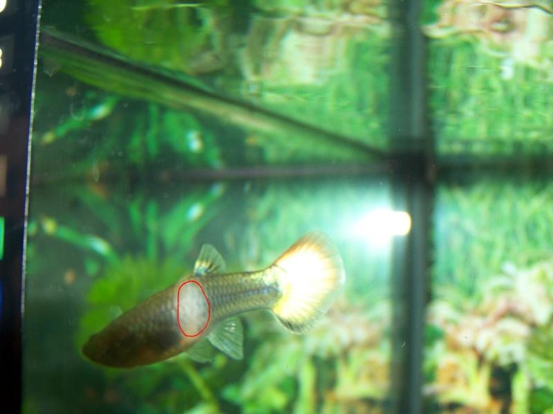 taches blanches femelle guppy Guppy10