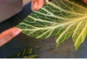 Cách tỉa lá bắp cải đẹp mà không khó 12031521