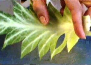 Cách tỉa lá bắp cải đẹp mà không khó 12031523