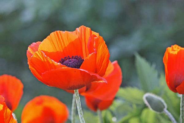 Truyền thuyết về loài hoa anh túc Hoa-an12