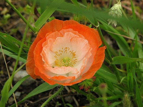 Truyền thuyết về loài hoa anh túc Hoa-an14