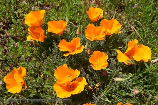 Truyền thuyết về loài hoa anh túc Hoa_an10