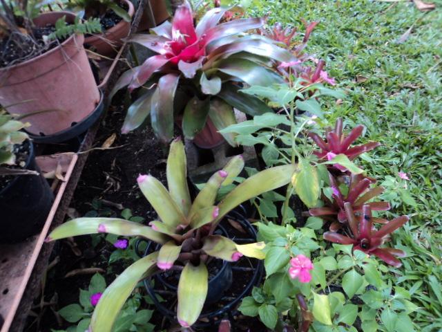 Quelques broméliacées de mon jardin Dsc00912