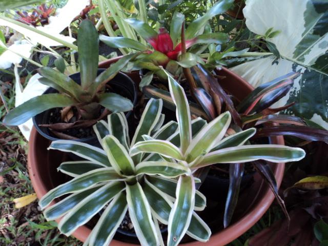 Quelques broméliacées de mon jardin Dsc01412