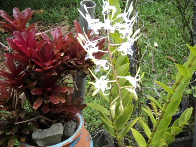 Quelques broméliacées de mon jardin Dsc02112