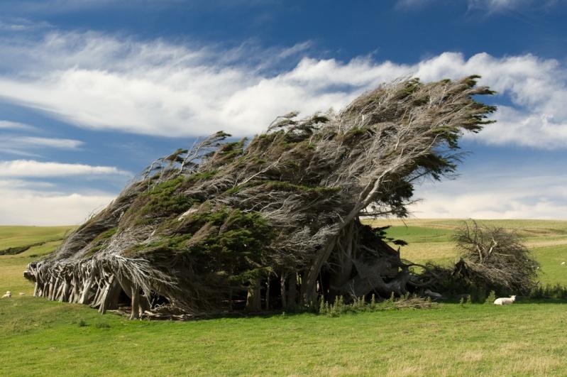 [Nouvelle-Zélande] - Bosquet sculpté par le vent au Slope Point 52430610