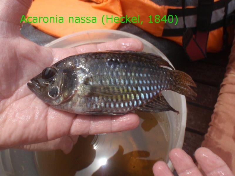 Voyage au Pérou (croisière aquario solidaire 2012)  - Page 2 Acaron11