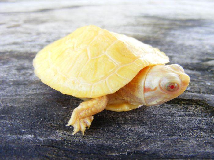 Рептилии альбиносы Picsw-10
