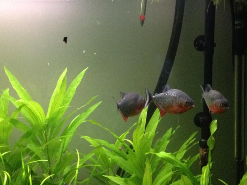 aquarium 360L brut piranhas Aquari13
