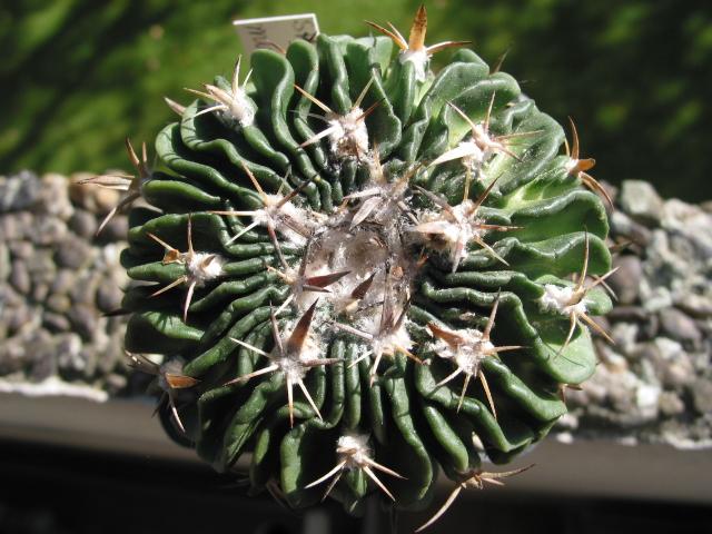 Echinofossulocactus multicostatus 100-0087