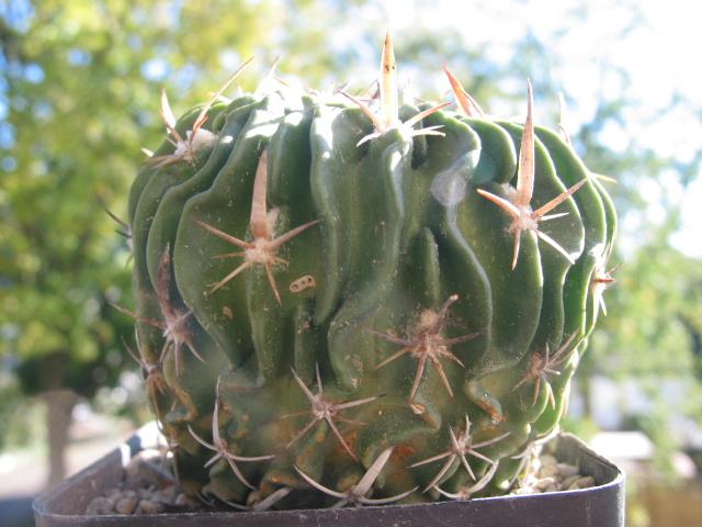 Echinofossulocactus multicostatus 100-0088