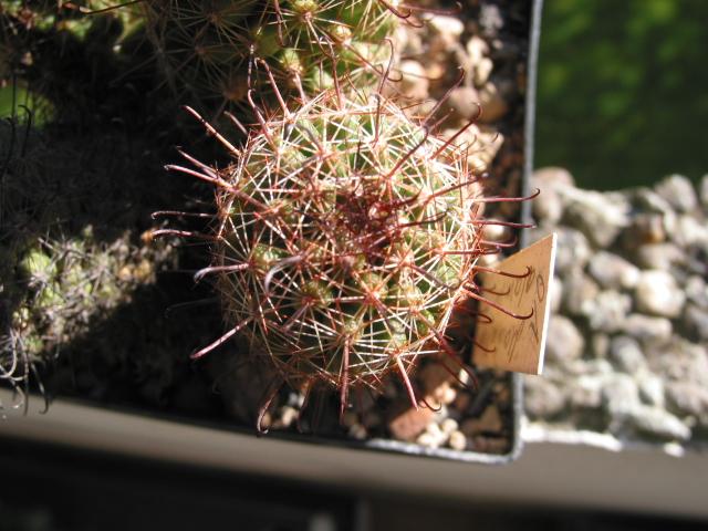 Mammillaria alamensis 101-0151
