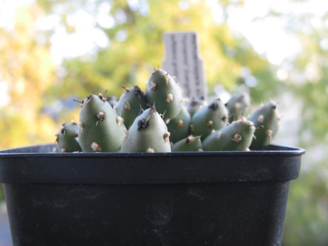 Maihueniopsis ovata 101-0168