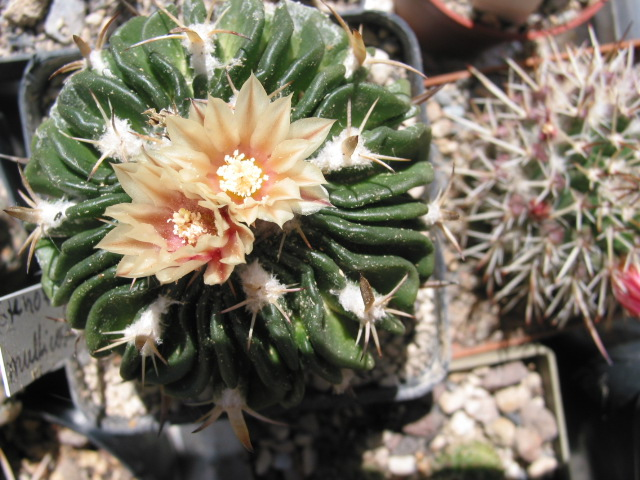 Echinofossulocactus multicostatus Steno_13