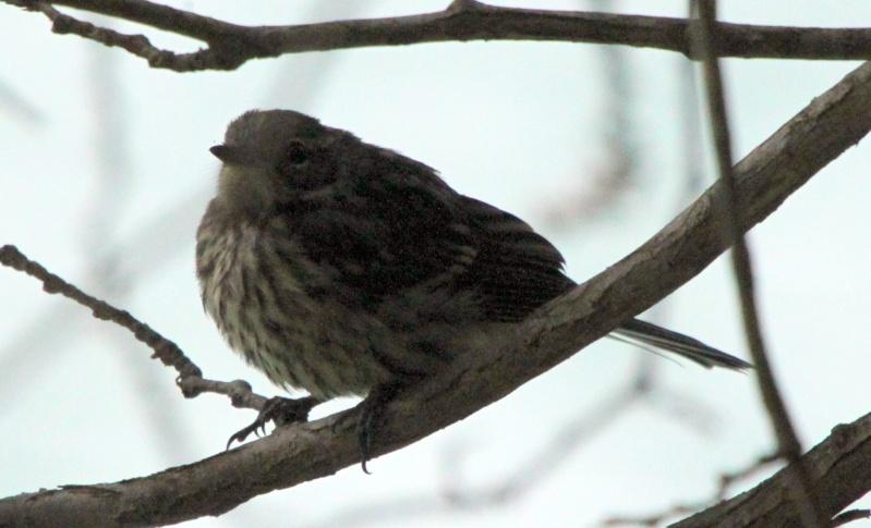 Deux oiseaux à identifier SVP Img_0215