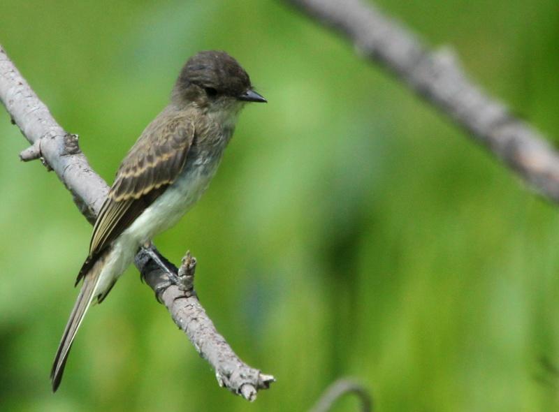 Aide pour identifier deux oiseaux SVP Img_0512
