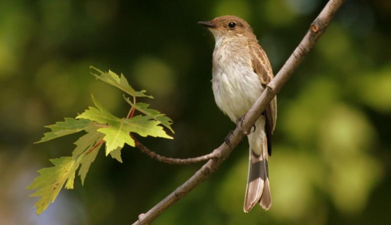 Aide pour identifier deux oiseaux SVP Img_0513