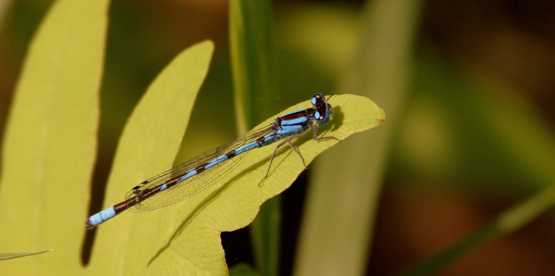 Libellule agrion Img_8610