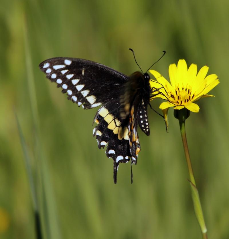 Papillon du céleri? Img_8813