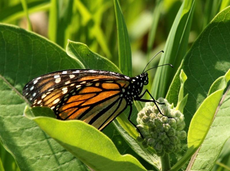 Papillon monarque femelle! Img_9212